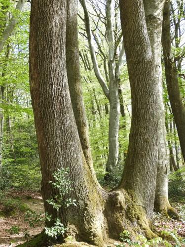 Des arbres magnifiques dans la forêt de Bonnevaux