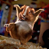 Hamster ninja